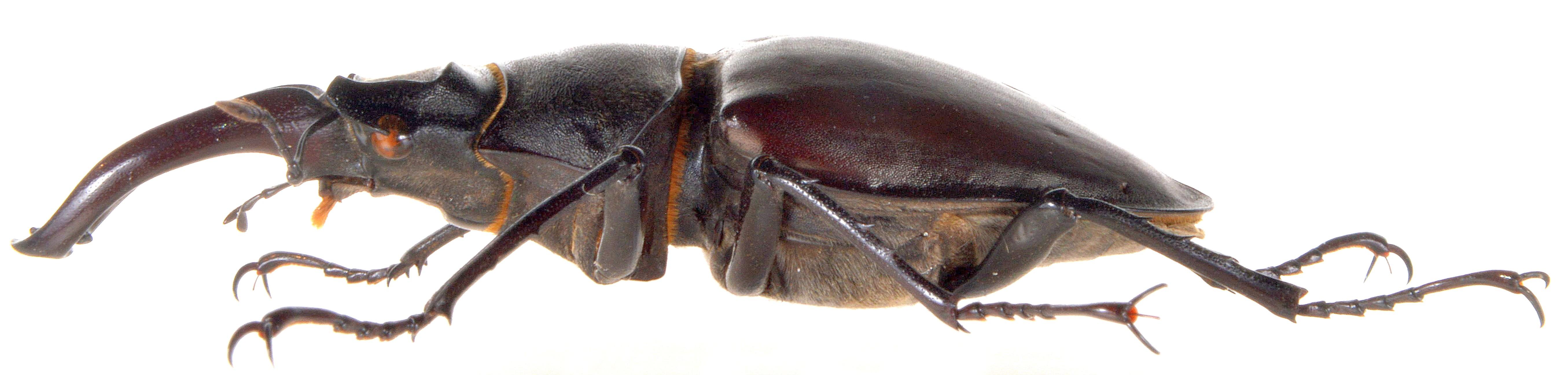 Lucanus cervus ♂
