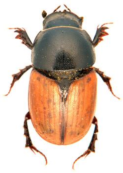 Colobopterus erraticus 2