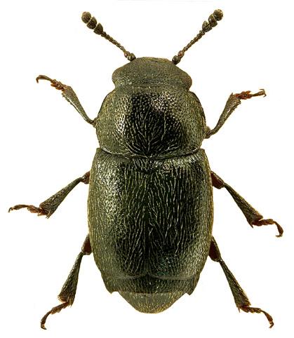 Brachypterus glaber 2