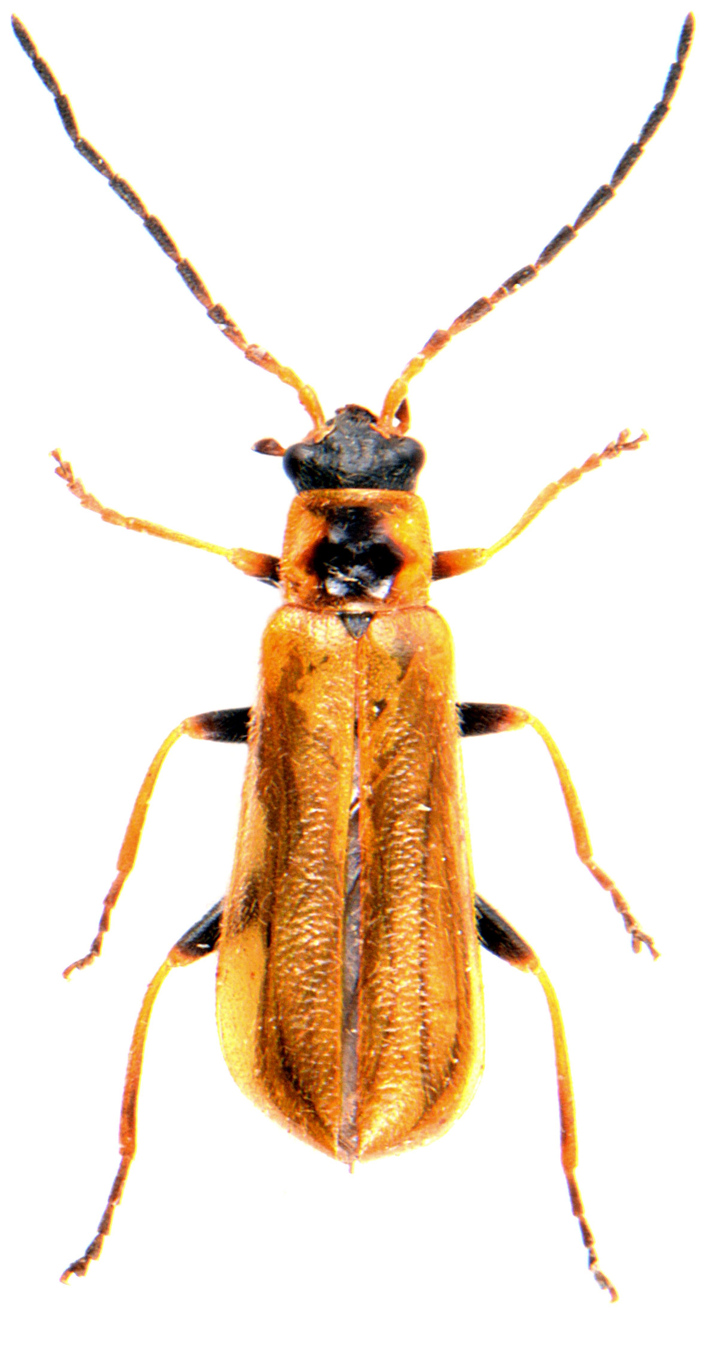 Rhagonycha nigriventris 1