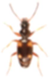 Bembidion quadrimaculatum.jpg