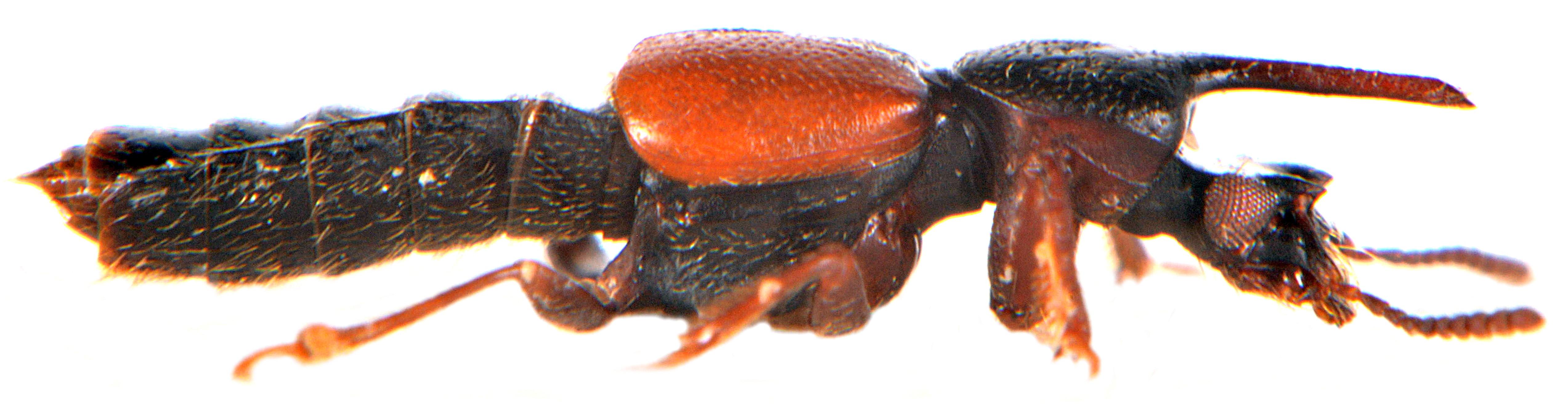 Bledius spectabilis 5