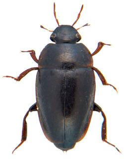 Limnebius truncatellus