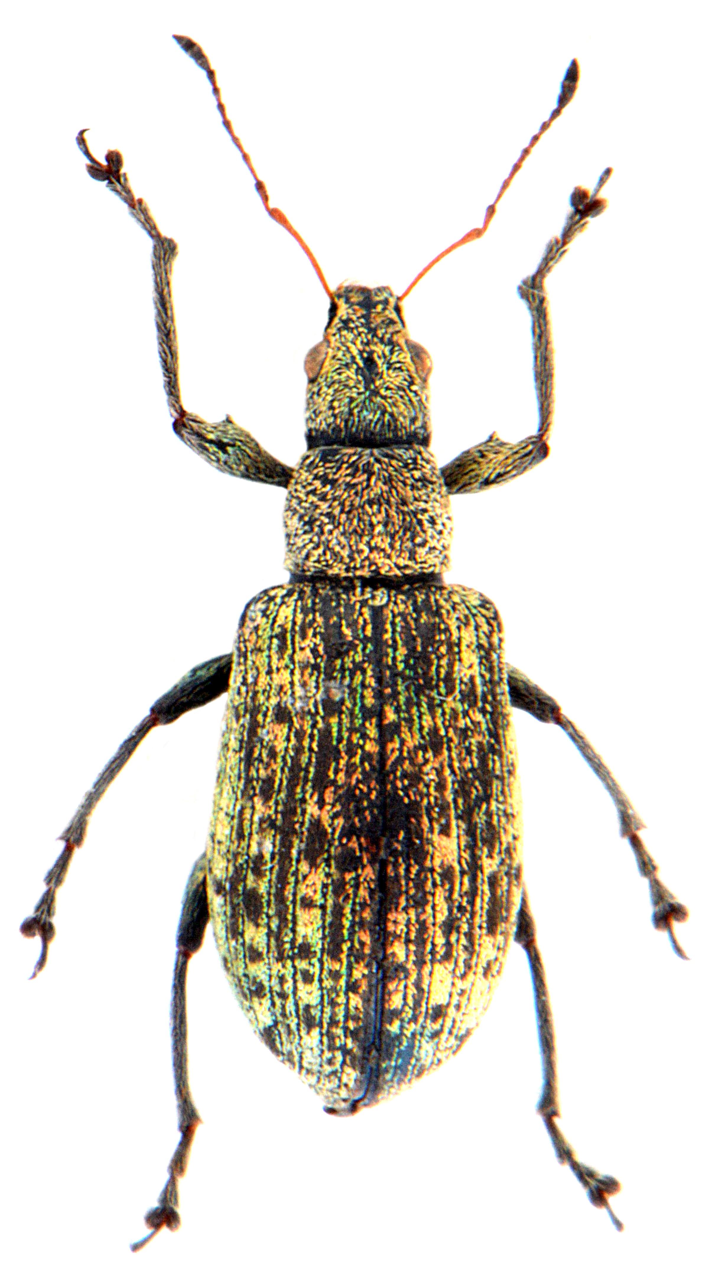 Polydrusus cervinus 2