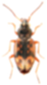 Bembidion semipunctatum.jpg