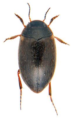 Hydroporus pubescens