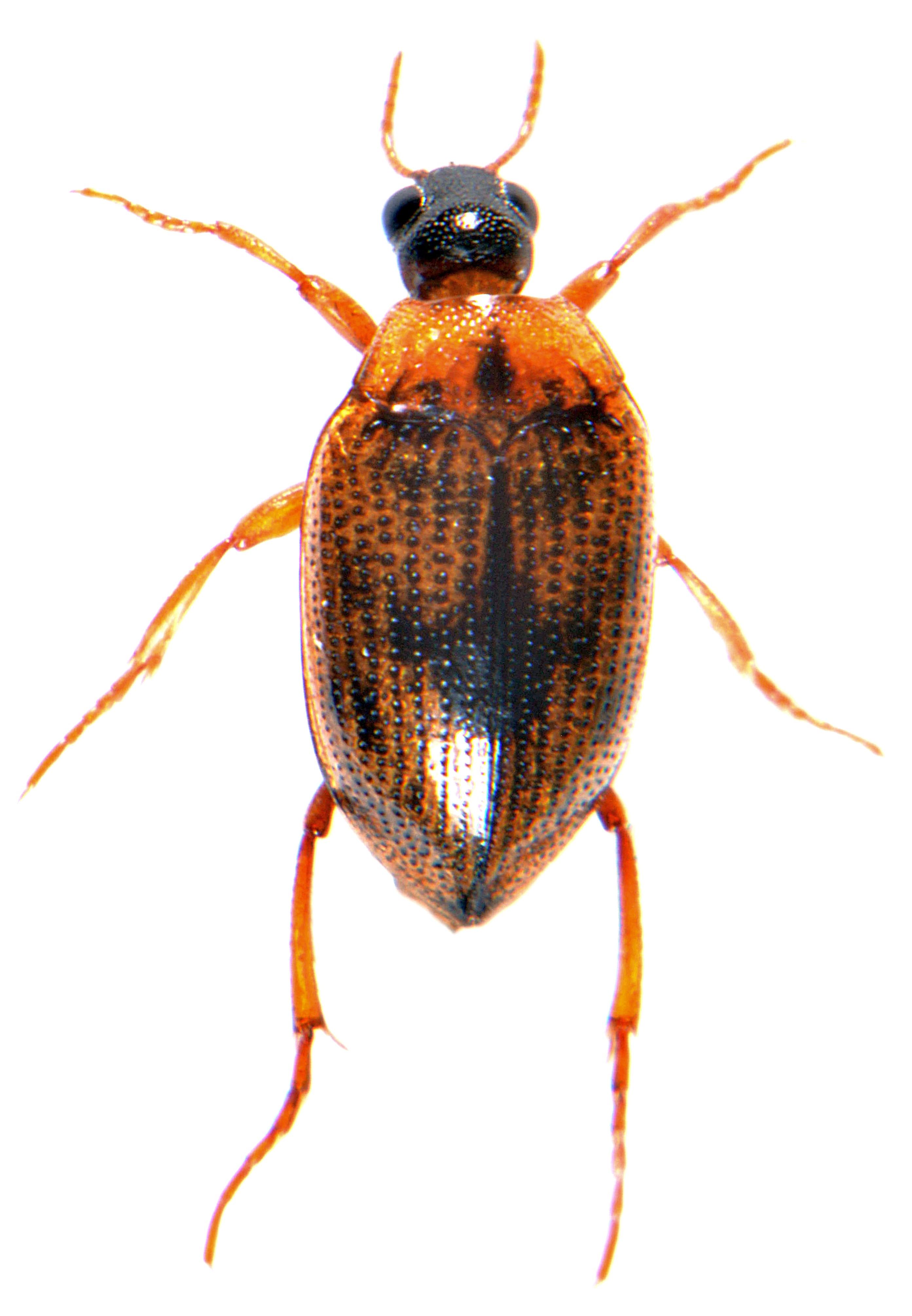 Haliplus lineatocollis 1
