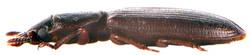 Tenebroides mauritanicus 2