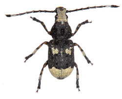 Platystomus albinus ♂