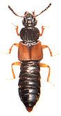Oxytelus laqueatus 1.jpg