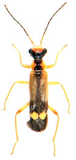 Malthinus seriepunctata