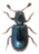 Necrobia violacea 1.jpg