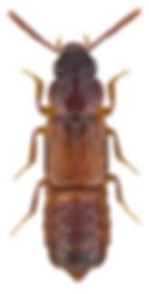 Xylodromus depressus.jpg