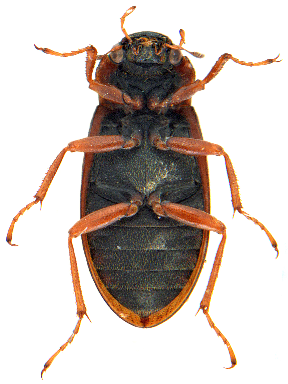 Helophorus grandis 4