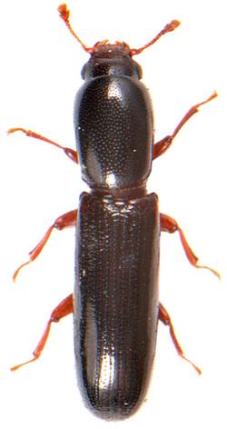 Teredus cylindricus 1