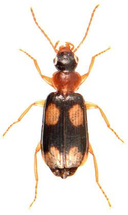 Dromius quadrimaculatus 1
