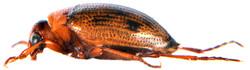 Haliplus ruficollis 5
