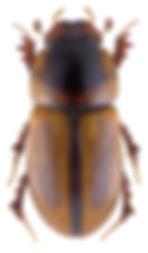 Labarrus lividus 1.jpg
