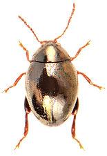 Apteropeda orbiculata.jpg