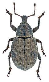 Tropiphorus terricola.jpg