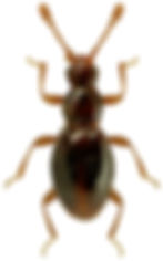 Microscydmus nanus.jpg