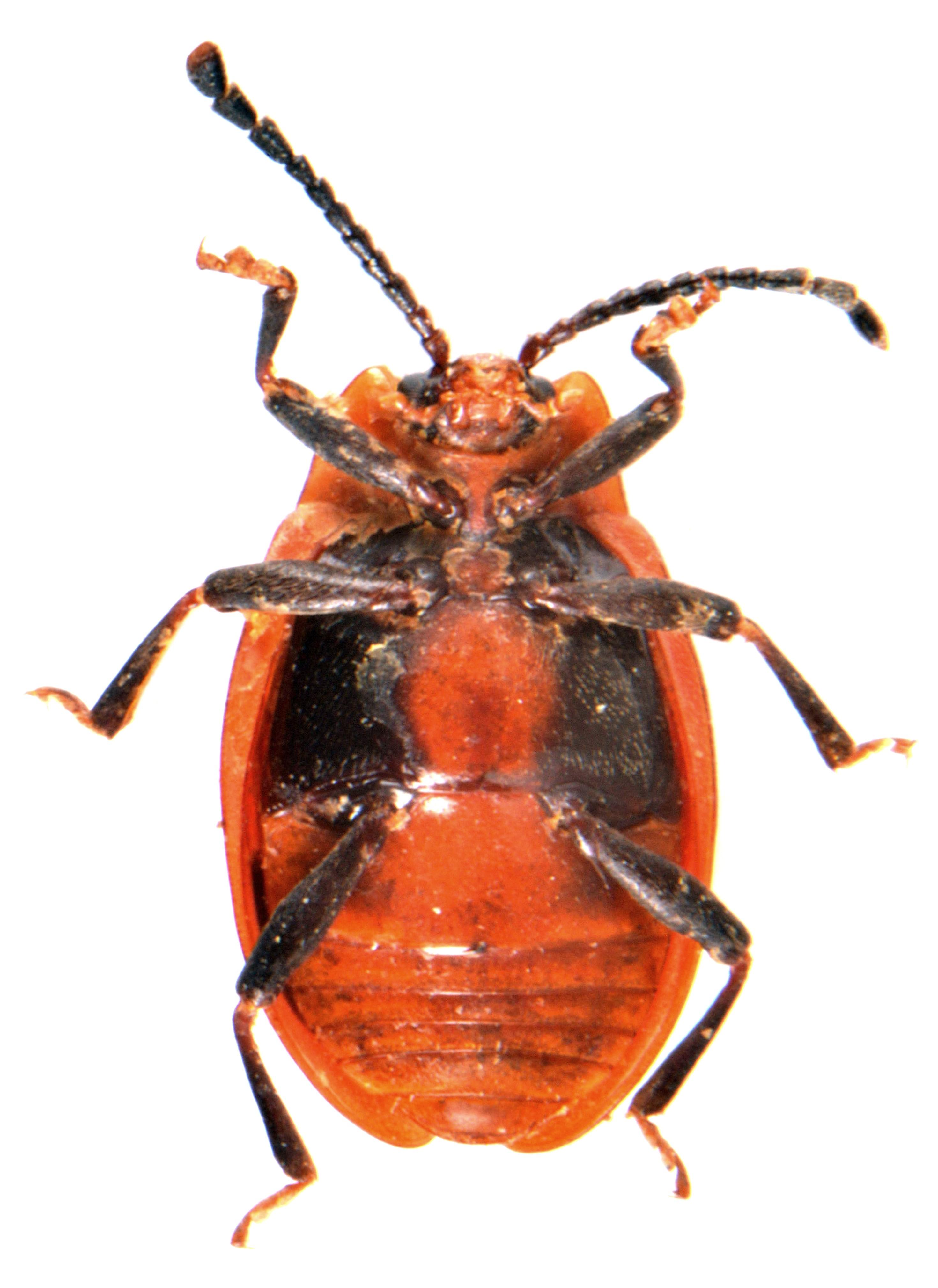 Endomychus coccineus 6
