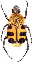 Trichius gallicus 3.jpg