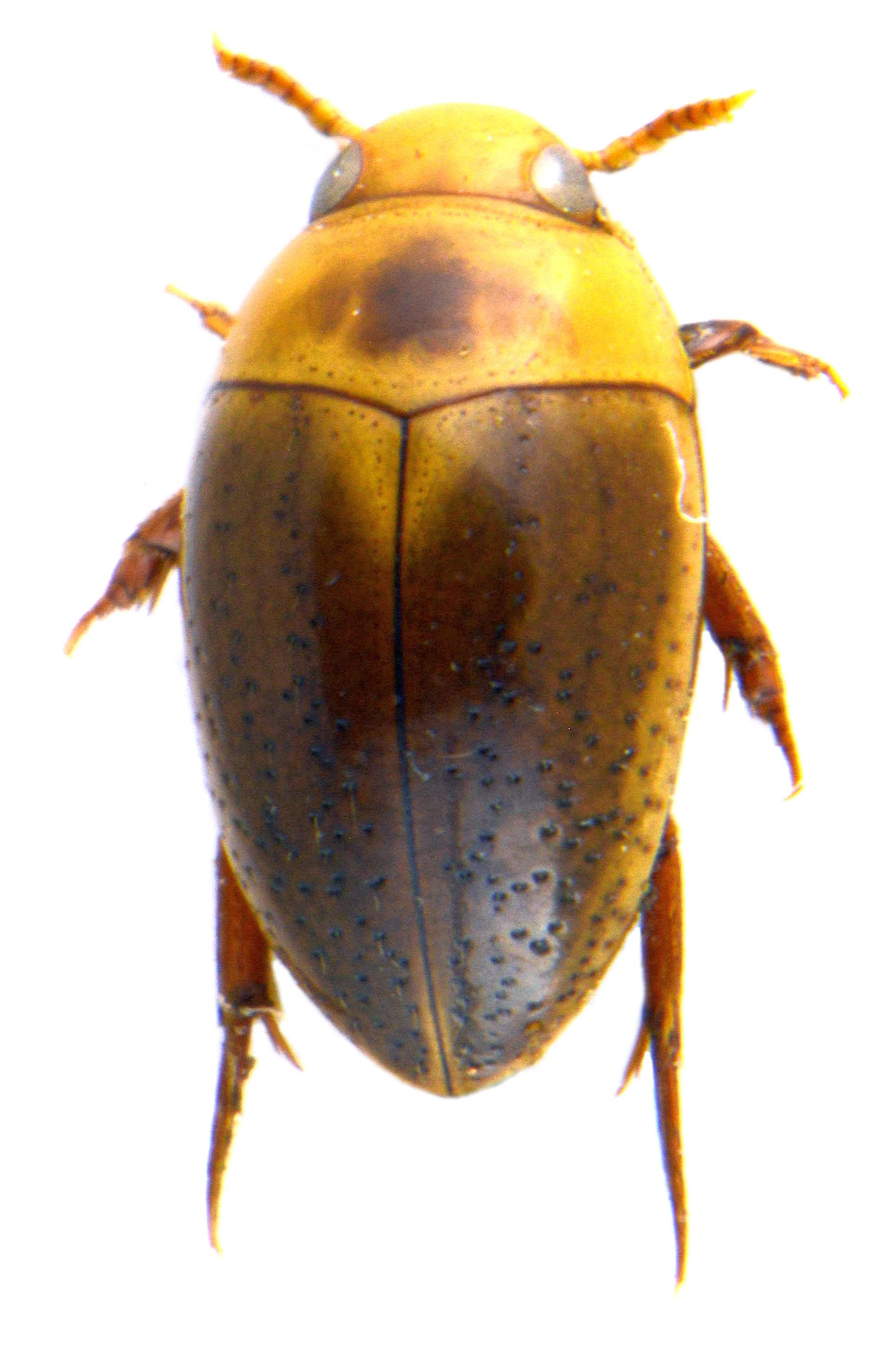 Noterus clavicornis 4