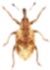 Hypera conmaculata 1.jpg