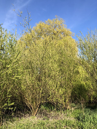 Willow 1.jpg