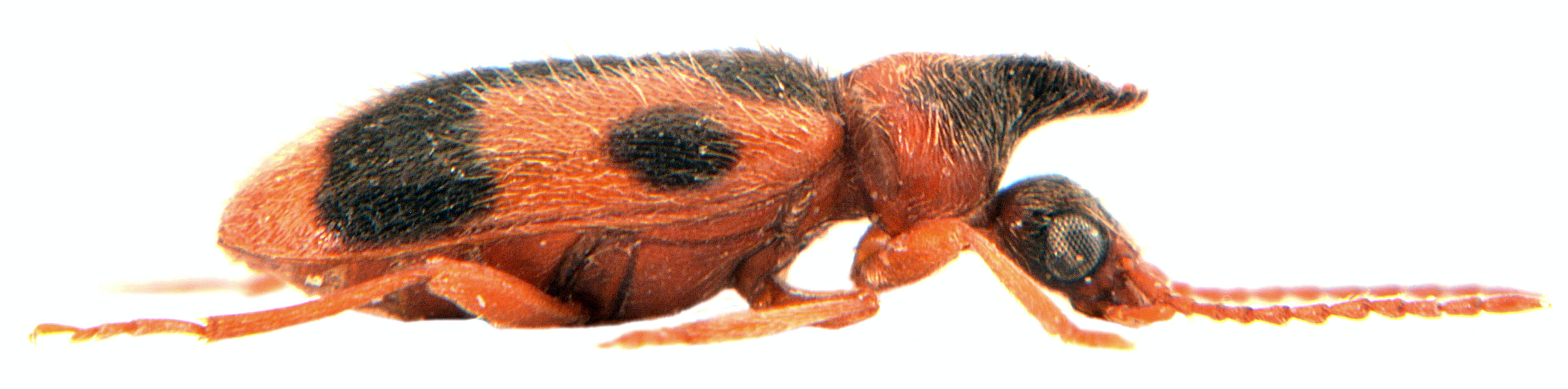 Notoxus monoceros 3