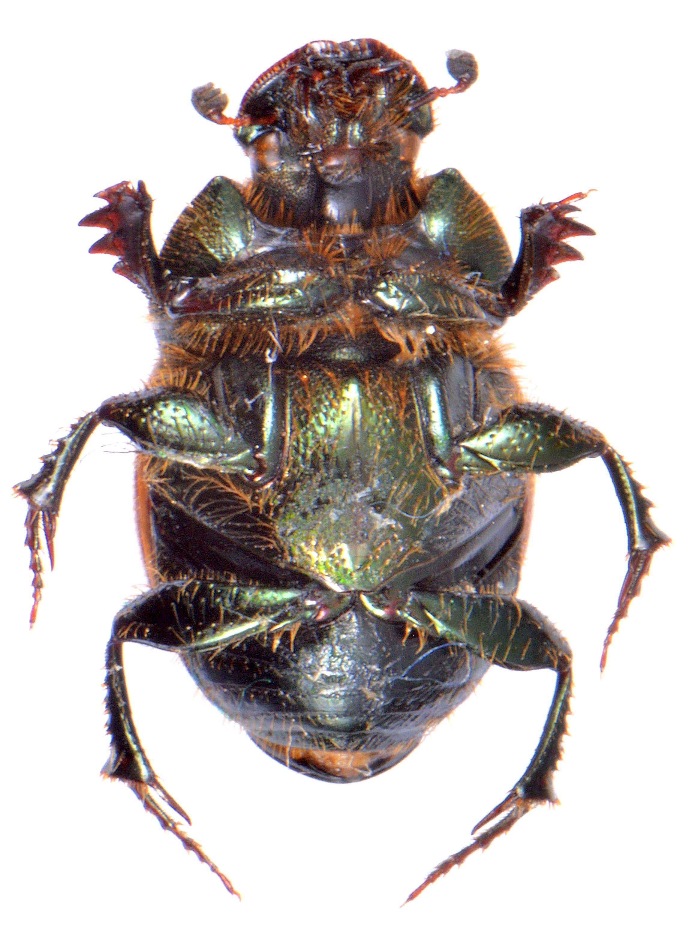 Onthophagus coenobita 3