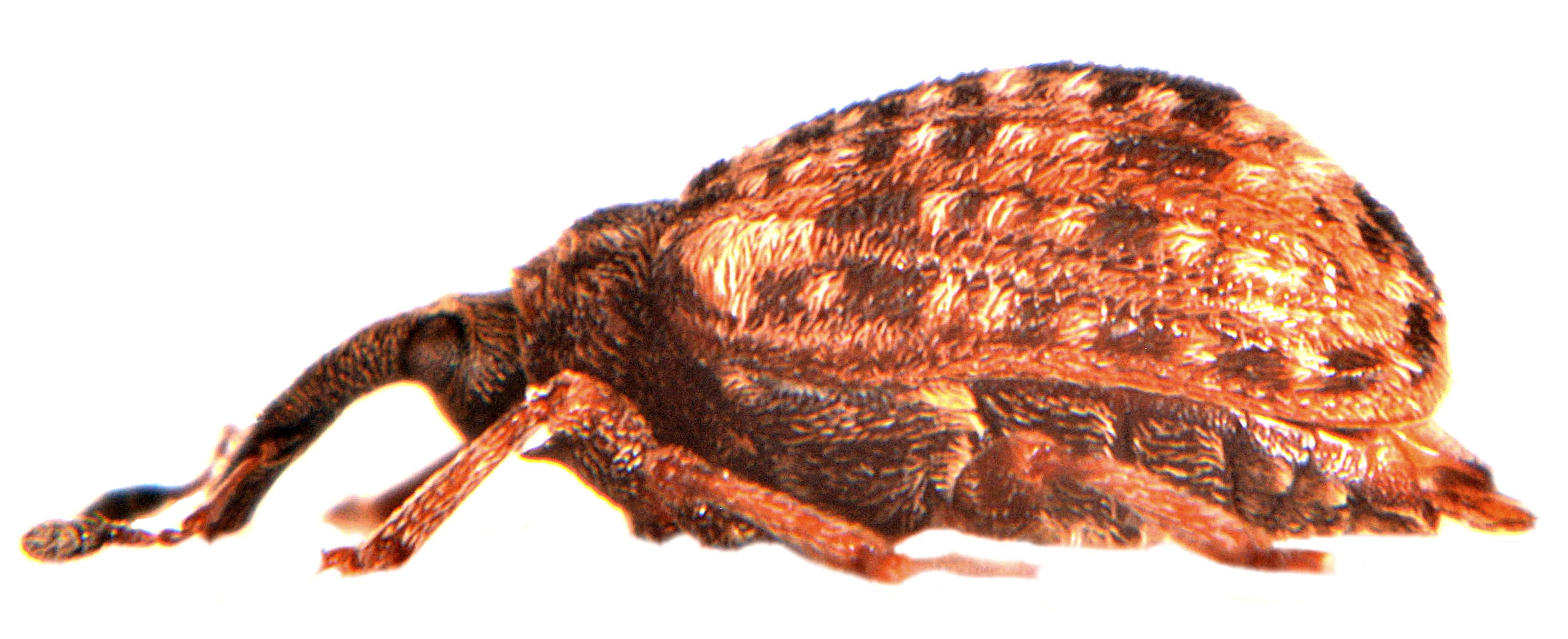 Cleopus pulchellus 3