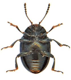 Phaedon cochlaeriae 3