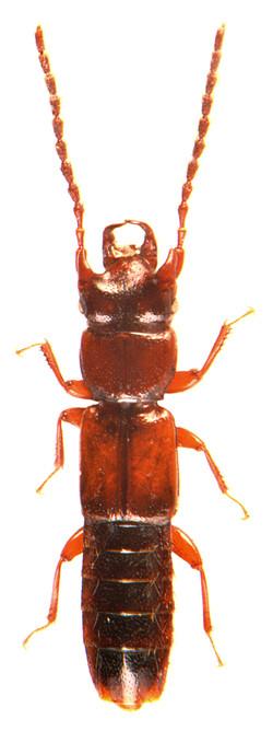 Siagonium quadricorne 4