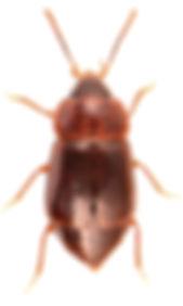 Olophrum piceum 1.jpg