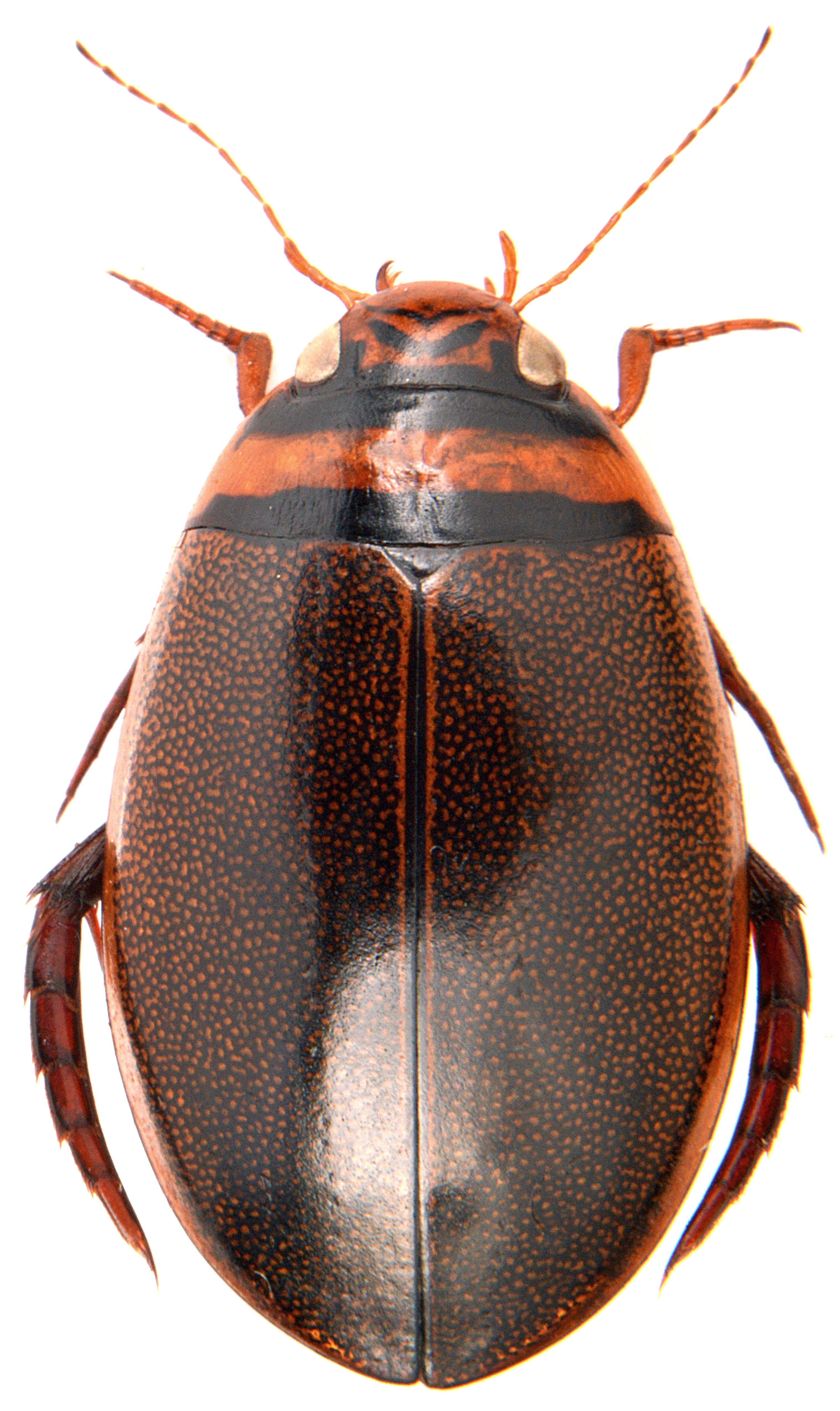 Graphoderus cinereus