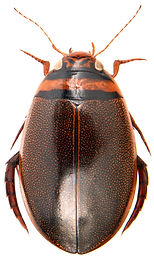 Graphoderus cinereus 1.jpg