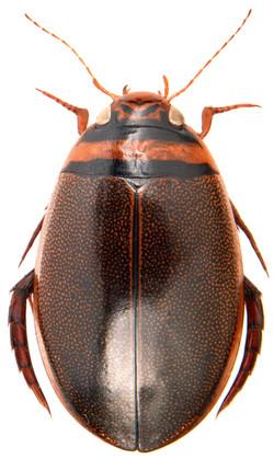 Graphoderus cinereus