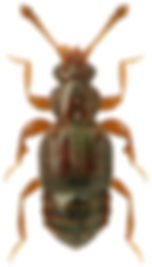 Bibloporus bicolor.jpg