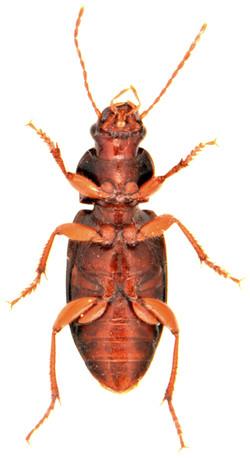 Ophonus puncticeps 3
