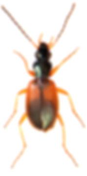 Anchomenus dorsalis 4.jpg