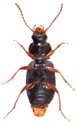 Pterostichus strenuus 3