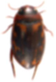 Platambus maculatus 1.jpg