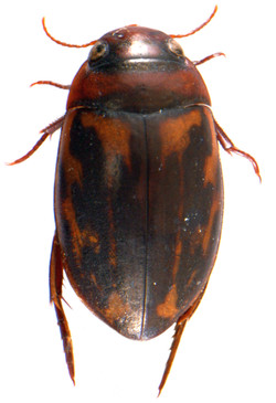 Platambus maculatus