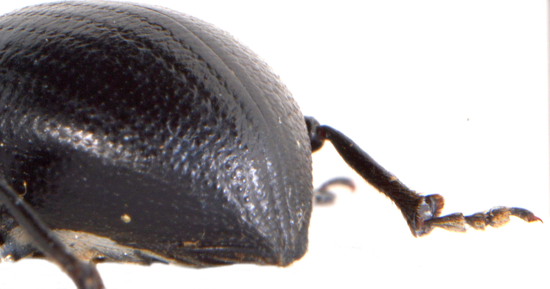 Otiorhynchus morio 5