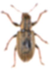 Sitona lineatus 2.jpg