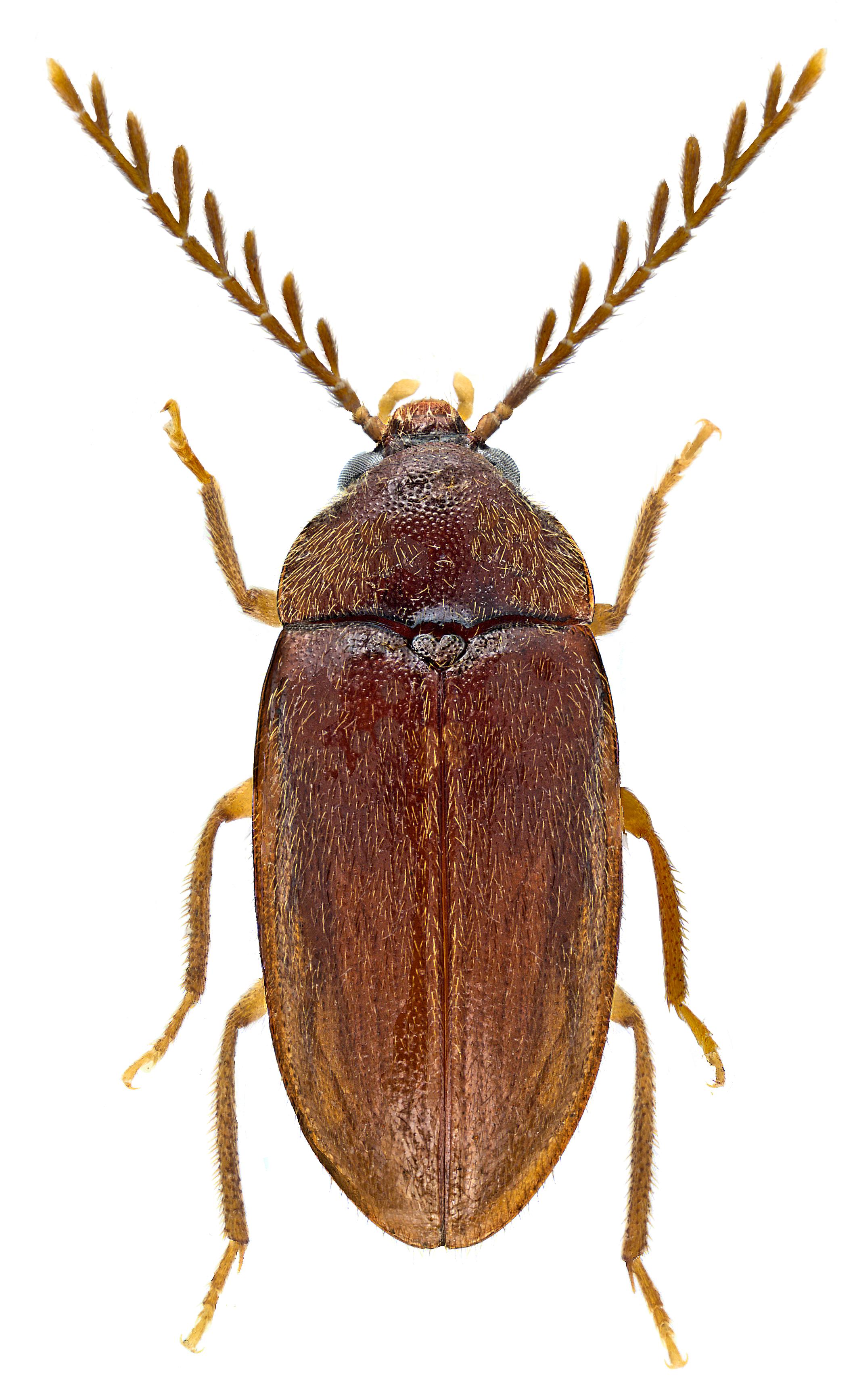 Ptilodactyla exotica ♂