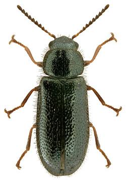 Aplocnemis nigricornis