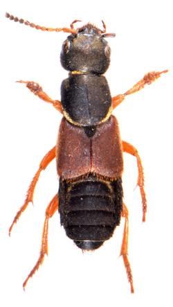 Staphylinus dimidiaticornis 1